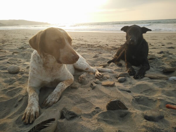 Dogs in Mancora