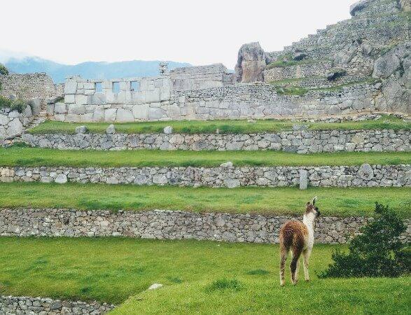 Baby lama in Machu Picchu