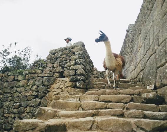 Lama running in Machu Picchu