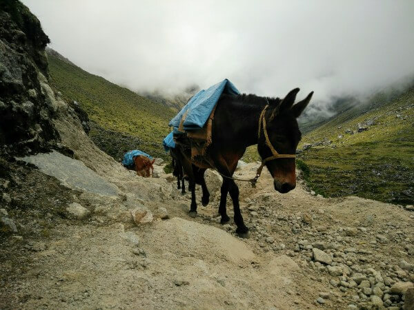 Mules in the Andes