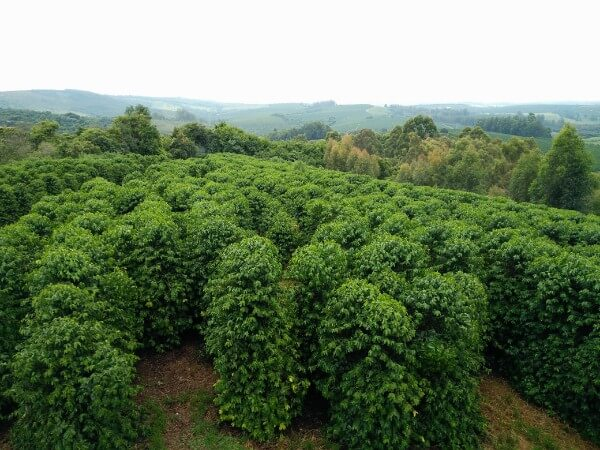 Coffee production in Minas Gerais