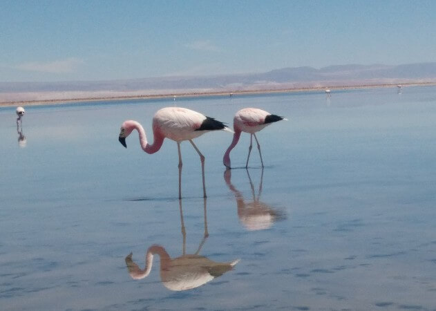 Flamingoes in Laguna Chaxa in Atacama Desert, Chile