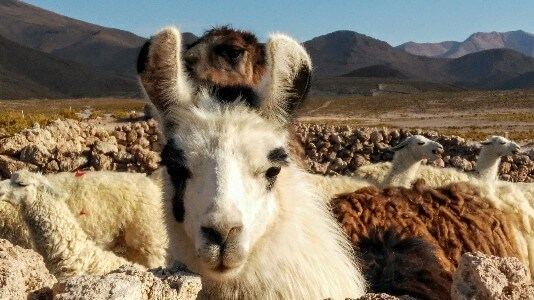Lamas in South America